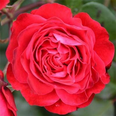 Роза Rouge Meilove фото