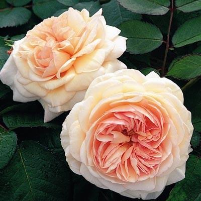 Роза Shropshire Lad фото