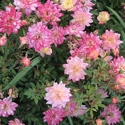Роза Tricolor Fairy фото