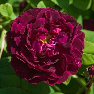Роза Tuscany Superb фото