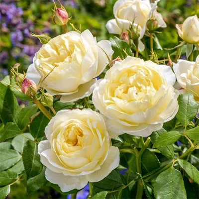 Роза Vanessa Bell фото