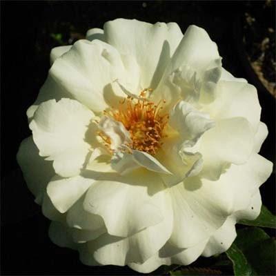 Роза White Meilove фото