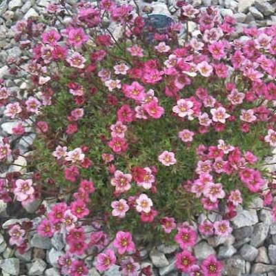 Камнеломка Highlander Rose Shades фото
