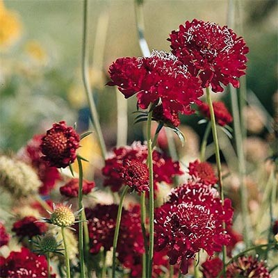 Скабиоза Deep Red фото