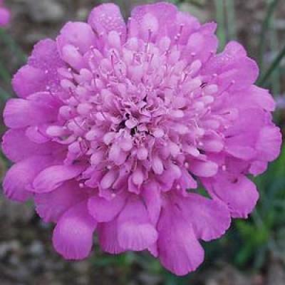 Скабиоза Pink Mist фото