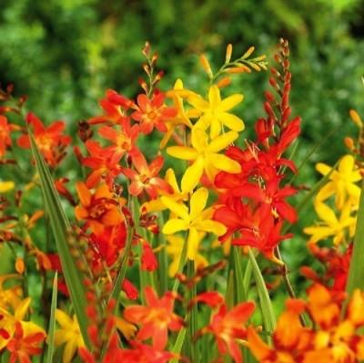 Крокосмия Мелкоцветковая Микс фото