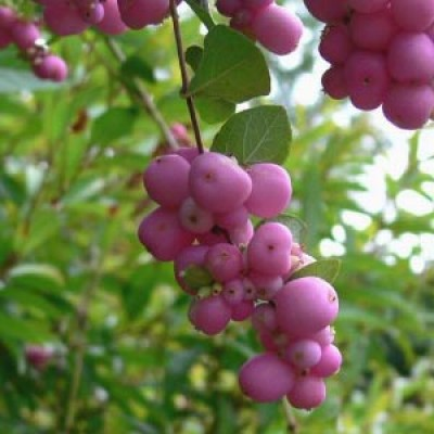 Снежноягодник Magic Berry фото