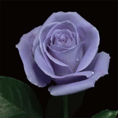 Роза Suntory Blue Rose Applause фото