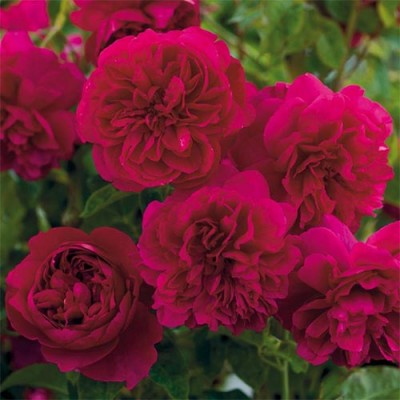 Роза Thomas А' Becket фото