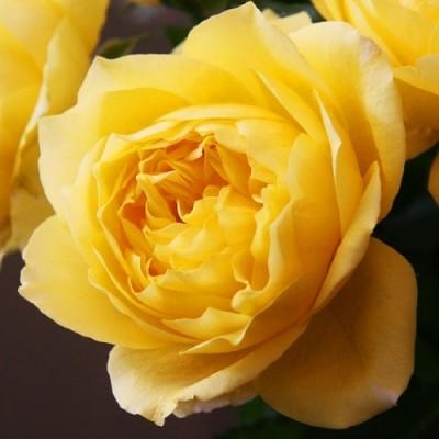 Роза Toulouse Lautrec фото