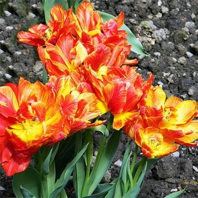 Тюльпан Monte Flame  фото