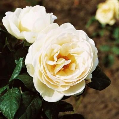 Роза плетистая Uetersener Klosterrose фото
