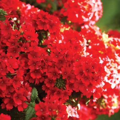 Вербена Estrella Voodoo Red фото