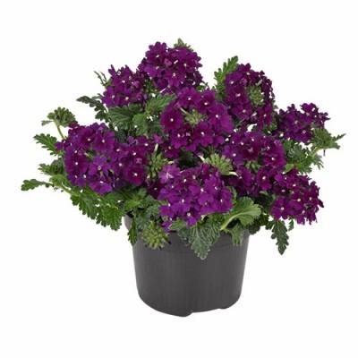 Вербена Фиолетовая фото