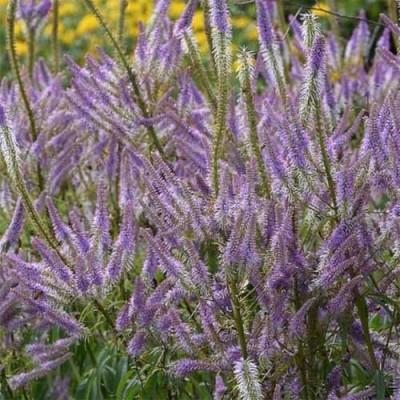 Вероникаструм Lavendelturm фото
