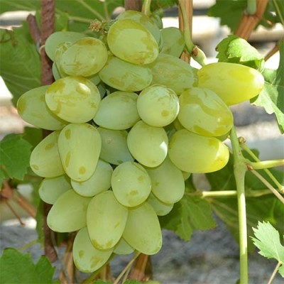 Виноград Бажена фото