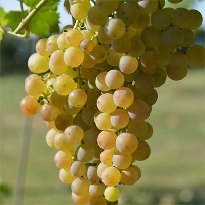 Виноград Мускат Оттонель фото