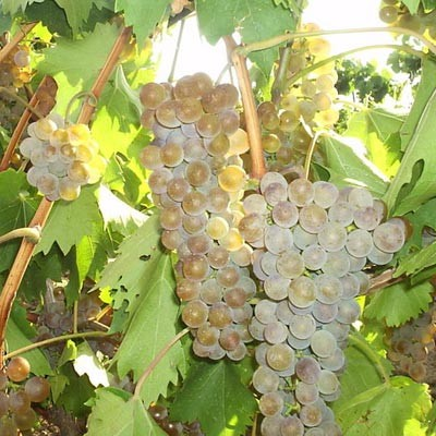 Виноград  Ркацетели  фото
