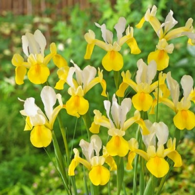 Ирис Hollandica Yellow-White фото