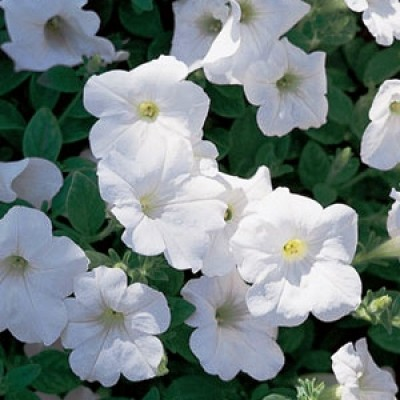 Сурфиния  Trailing White фото