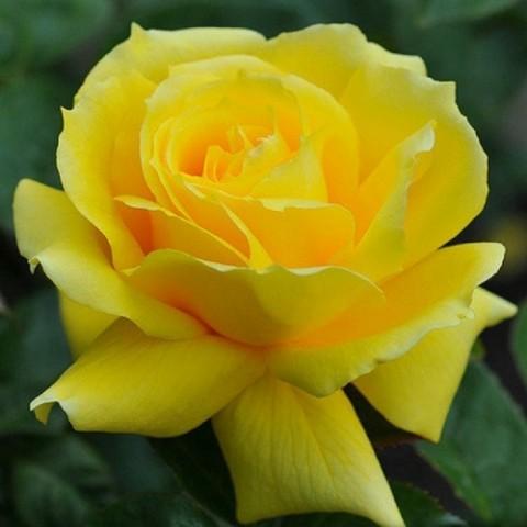 Роза Landora фото