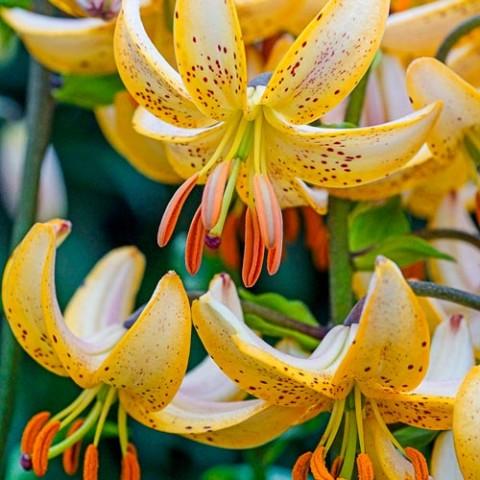 Лилия Guinea Gold фото