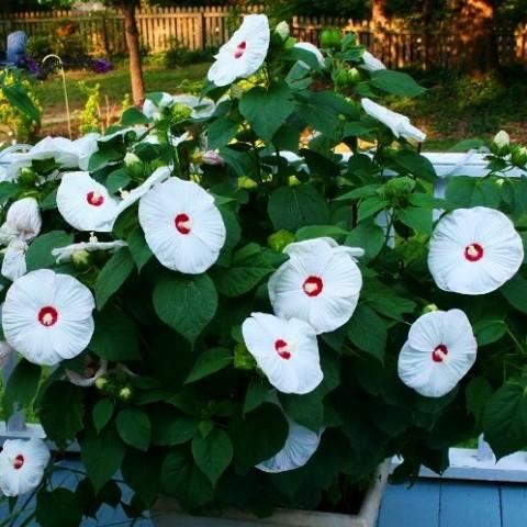 Гибискус садовый Old Yella фото