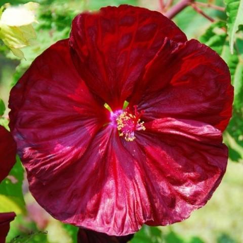 Гибискус садовый Robert Flemming фото
