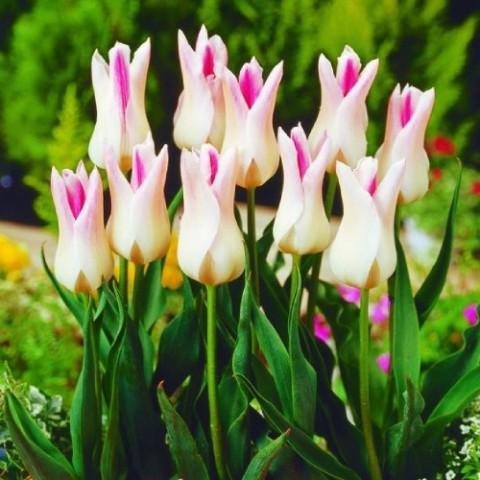 Тюльпан Holland Chic фото