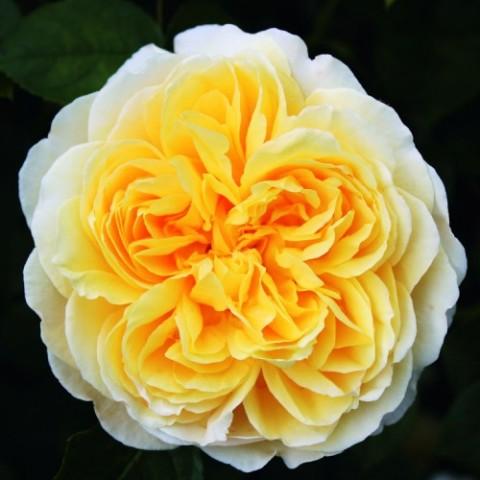 Роза Charlotte фото