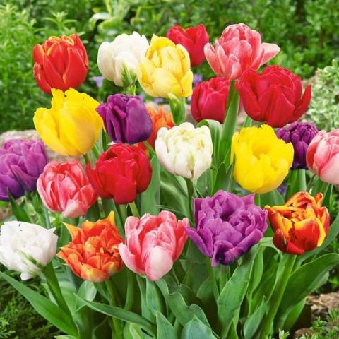 Тюльпан Махровый Микс фото