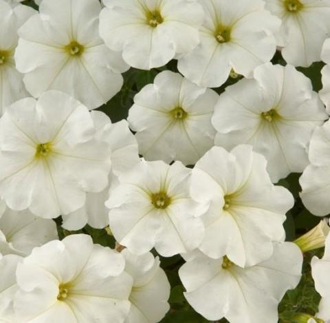Петуния Fortunia White фото