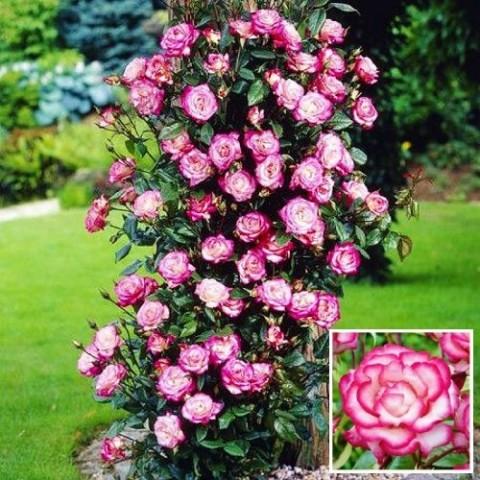 Роза Haendel фото