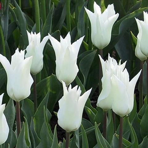 Тюльпан Chic Lily фото