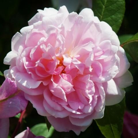 Роза Mortimer Sackler (плетистая) фото