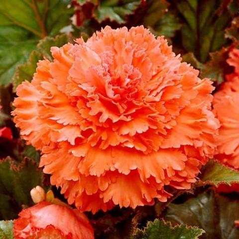 Бегония Fimbriata Оранжевая фото