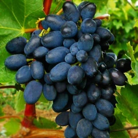 Виноград Кодрянка фото
