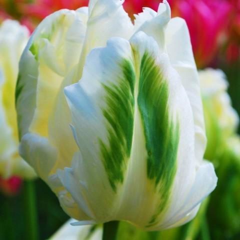 Тюльпан White Parrot фото