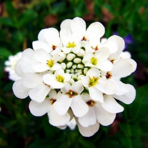 Иберис Whiteout фото