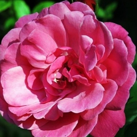 Роза Etude фото