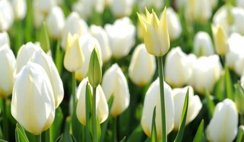 Тюльпан Purissima фото