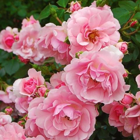 Роза Bonica фото