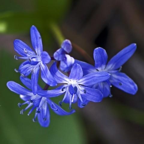 Пролеска Bifolia фото
