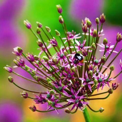 Аллиум Spider фото