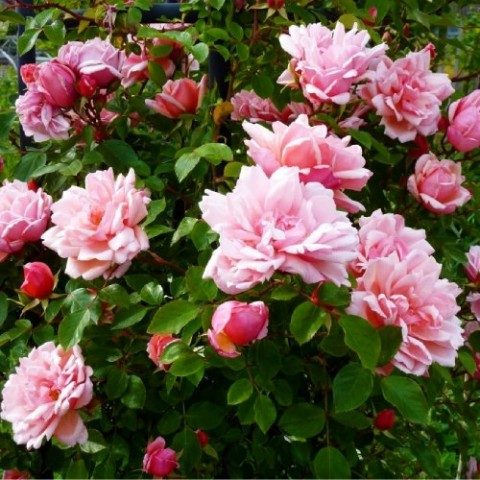 Роза Albertine (плетистая) фото