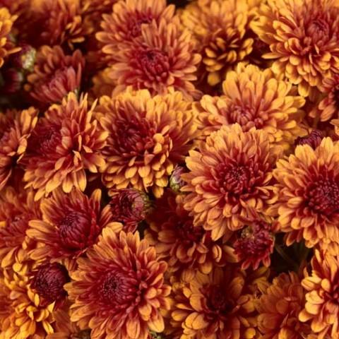 Хризантема Katelli фото