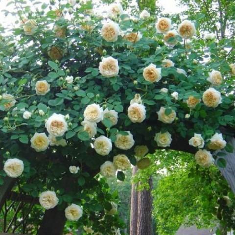 Роза Claire Austin фото