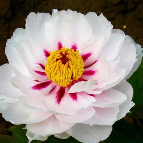 Пион Fairy Moon Yue Gong Zhu Guang древовидный фото