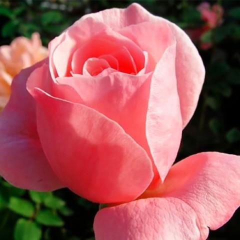 Роза Queen of England фото