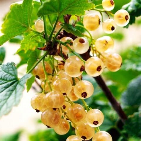 Смородина белая Уайт Холландер фото